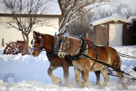 Horse drawn sled in winter stock photo, Horse drawn sled in winter by Mark Duffy