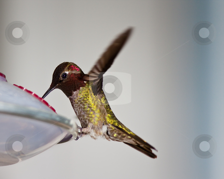 Hummingbird stock photo, Hummingbird in the wild by Jean-Edouard Rozey
