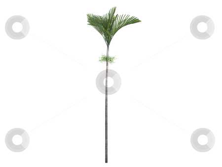 Joannis Palm or Veitchia joannis stock photo, Joannis Palm or latin Veitchia joannis isolated on white background by Nmorozova