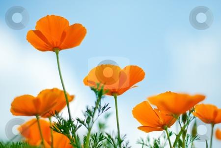 Orange Poppies Field  stock photo, Orange Poppies Field shoot against blue sky. by Homydesign