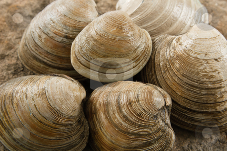 Close up of Littleneck Clams stock photo, Close up view of fresh littleneck clams on a natural rock background with shallow depth of field show tasty food that is also a dangerous allergen by Karen Sarraga