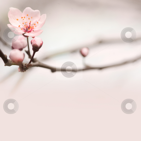 Spring header with copy space. stock photo, Spring header with with pink flower, buds and copy space. by exvivo