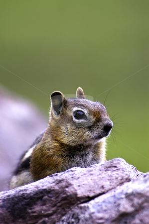 Golden Mantled Ground Squirrel stock photo, Golden Mantled Ground Squirrel resting on a rock by Bonnie Fink