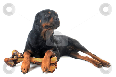 Rottweiler stock photo, portrait of a purebred rottweiler with bone in front of white background by Bonzami Emmanuelle