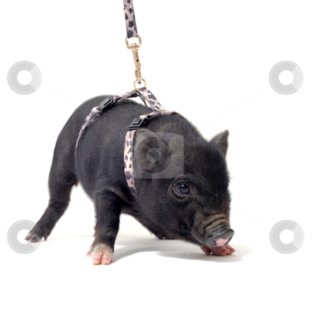 Liitle piggy stock photo, little black piggywith harness in front of white background by Bonzami Emmanuelle