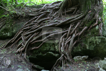 Magical Tree Roots stock photo, The magical tree roots of a tree growing on the rocks of the Niagara Escarpment.  Shot at the Bruce Caves, near Wiarton, Ontario Canada. by Chris Hill