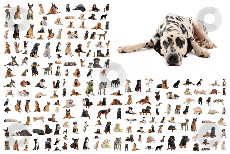 Group of dogs and dalmatian stock photo, composite picture with dalmatian purebred  dogs in a white background by Bonzami Emmanuelle
