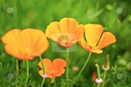 Orange Poppies Field  stock photo, Orange Poppies Field selective focus effect. by Homydesign