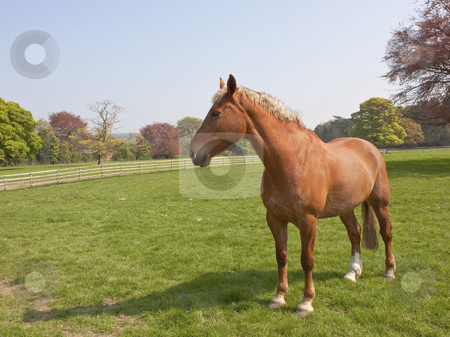 Beautiful horse stock photo, an english landscape with a beautiful horse in a parkland setting with ornamental trees in springtime by Mike Smith