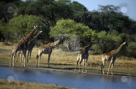 Adult African giraffes stock photo, Adult African giraffes near a water source. by Russellimages