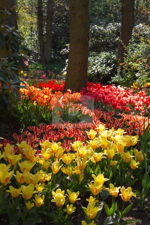 Garden in spring with lots of tulips stock photo, Spring garden with lots of colorful, beautiful tulips - vertical image by Colette Planken-Kooij