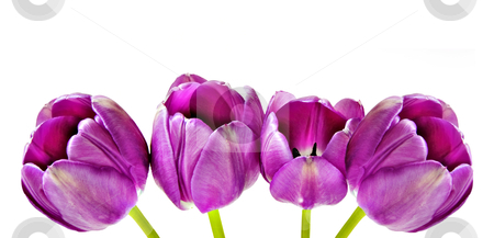 Spring background of pink tulips stock photo, Spring background of pink tulips by tish1