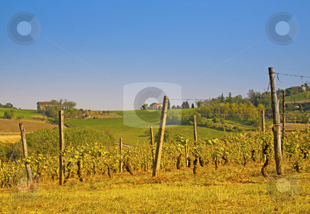 Vineyard stock photo, Green and gorgeous vineyard with blue sky on the background by Fabio Alcini
