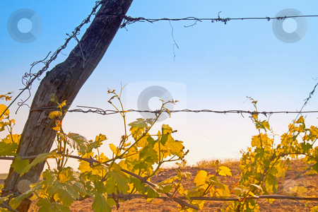 Vineyard stock photo, Closeup of green and gorgeous vineyard with blue sky on the back by Fabio Alcini