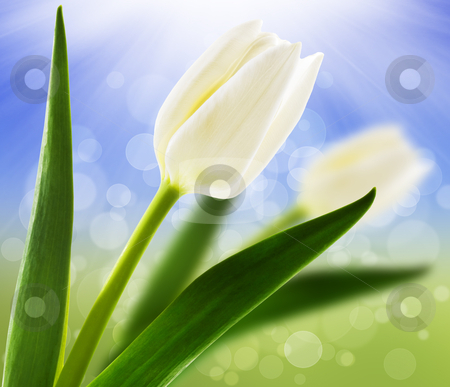 Spring background with white tulips stock photo, Spring background with white tulips by tish1