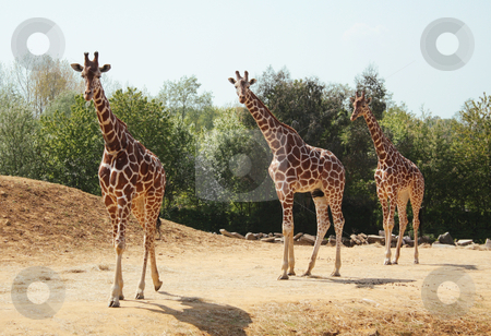 Three giraffes in the wild stock photo, Three giraffes walking in the wild. by Brigida Soriano