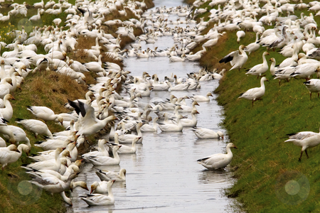 Snow Geese Flock Drinking Water Feeding Close Up Skagit County W stock photo, Snow Geese Flock Drinking Rain Ditch Grass Close Up  Skagit County Washington by William Perry