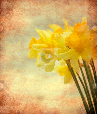 Vintage Daffodil flowers stock photo, Abstract textured closeup of daffodil flowers for vintage look by borojoint