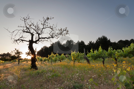 Sunset on Vineyard stock photo, scenic of silhouette tree on vineyard during sunset by Paulo M.F. Pires