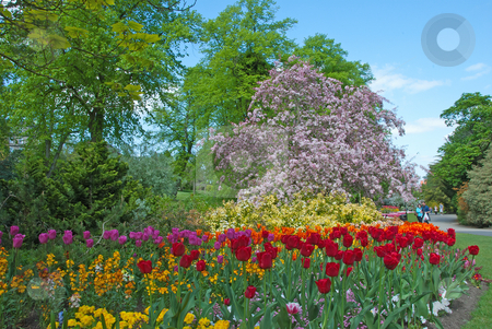 Flowering Cherry and Tulips stock photo, A Flowering Cherry Tree and Red Orange and Yellow Tulips under a blue spring sky by d40xboy