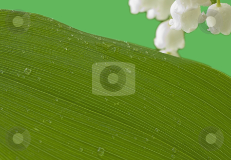 Leaf stock photo, Big green leaf on green with white flowers by Fabio Alcini