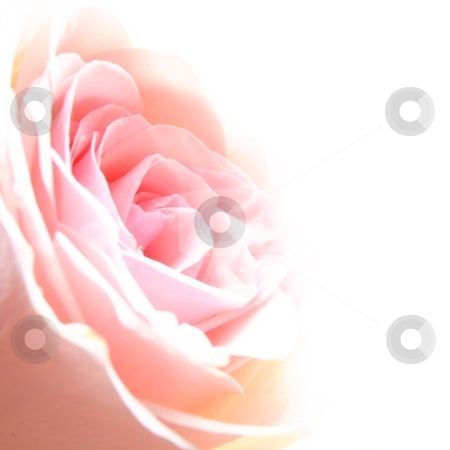 Rose flower stock photo, rose flower showing amor love or anniversary concept by Gunnar Pippel