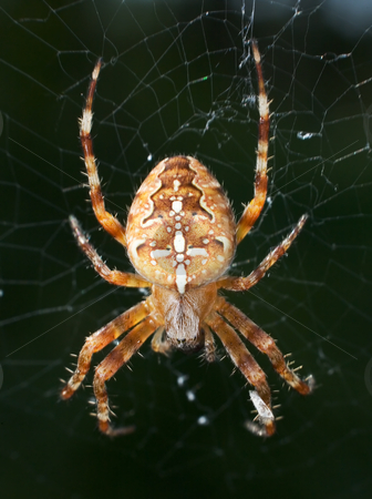 Spider in the web stock photo, The big yellow spider in the web by Alexey Romanov