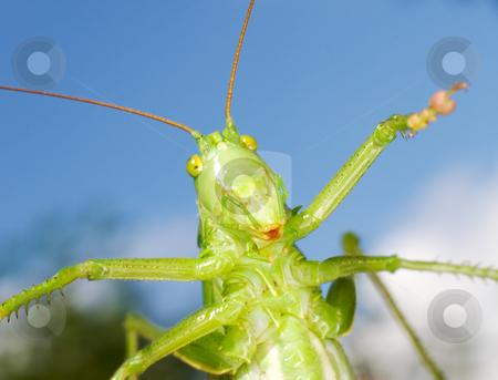 Green funny grasshopper stock photo, The green funny grasshopper on blue background by Alexey Romanov