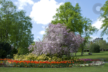 Flowering Cherry and Tulips stock photo,  by d40xboy