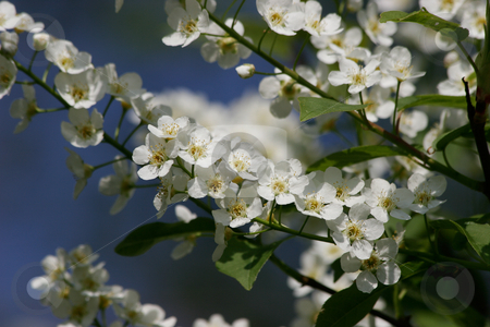 Wild cherry (Prunus avium) stock photo,  Wild cherry flowers (Prunus avium) in the spring by Torsten Dietrich