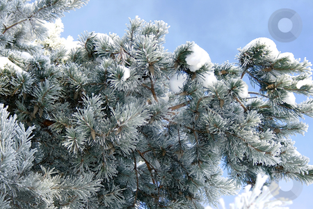 Pine tree branches  stock photo, Pine tree branches covered with snowfrost by Tatjana Keisa