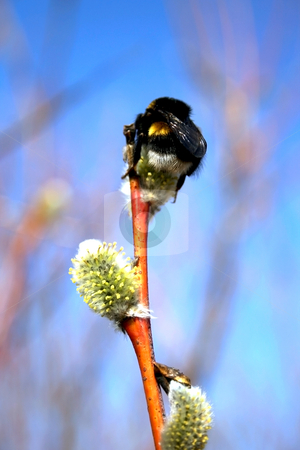 Bumble-bee on a pussy-willow stock photo, Bumble-bee on a pussy-willow branch on a sky background by Tatjana Keisa