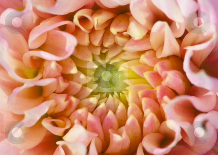 Core of big beautiful flower stock photo, Internal part (core) of the big beautiful flower by Alexey Romanov