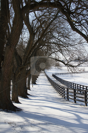 Snowy Lane stock photo, Osage Orange trees, once a part of a hedge, line a snowy field in Bluegrass country near Lexington, Ky by SidWebb