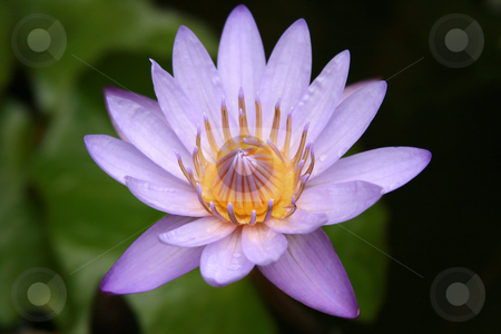 Lotus Blossom stock photo, Nymphaea caerulea - single purple lotus blossom by allihays
