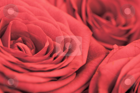 Background - flowers red roses stock photo, Background - flowers the big red roses close up by Alexey Romanov