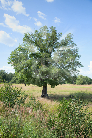 Standing alone tree - oak with beams in crone stock photo, Standing alone tree - oak with solar beams in a crone by Alexey Romanov