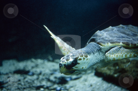 Loggerhead Turtle stock photo, Underwater shot of a Loggerhead turtle swimming. by Russellimages