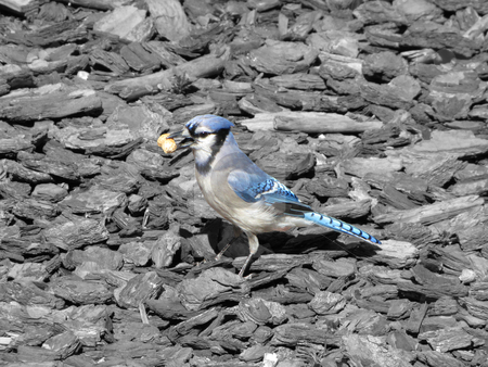 Blue Jay on black and white background stock photo,                    Blue Jay on black and white background             by CHERYL LAFOND