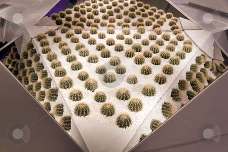 Mirrored Cactuses stock photo, Mirrored cactuses in a bed of white rocks by Kevin Tietz