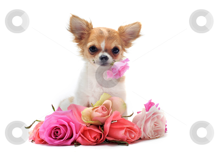 Puppy chihuahua and flower stock photo, portrait of a cute purebred  puppy chihuahua withe roses in front of white background by Bonzami Emmanuelle