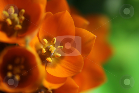 Orange Star Bouquet stock photo, A close-up of an Orange Star flower. (ornithogalum dubium )  Shot with a shallow depth of field.  by Chris Hill
