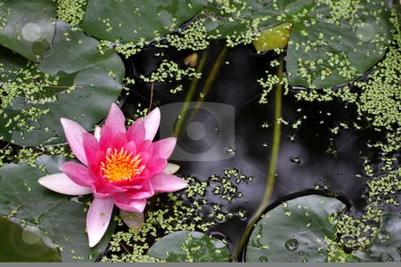 Pink Water Lily stock photo, A pink water lily (Nymphaeaceae) in a pond. by Chris Hill