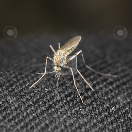 Closeup mosquito bite through a cloth stock photo, Mosquito trying to bite through a cloth by Alexey Romanov