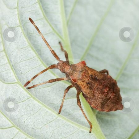 Brown stink bug sitting on a leaf stock photo, Brown stink bug sitting on a raspberry leaf by Alexey Romanov