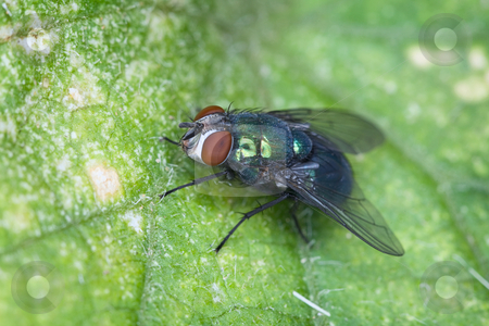 Fly sitting on green sheet of plant stock photo, Macro-photo of a fly sitting on green sheet of a plant by Alexey Romanov