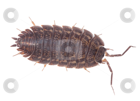 Brown wood louse isolated on white background stock photo, Big brown wood louse is isolated on a white background by Alexey Romanov