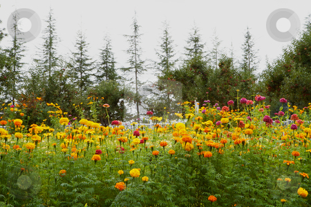 Chrysanthemums Pine Trees stock photo, Yellow orange violet Chrysanthemums with Pine and apple trees in the background by bobkeenan