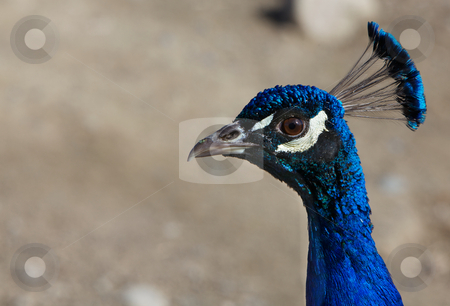 Close up Blue Peacock head stock photo, Close up of an iridescent Blue Peacock head in profile and neck against a very soft focus barren rock background by bobkeenan