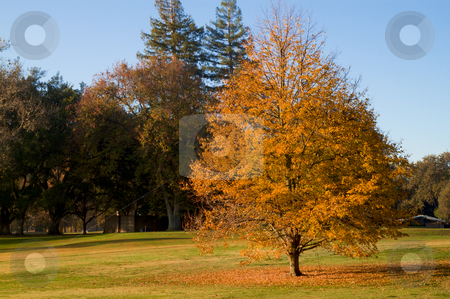Golf Course gold leaf tree stock photo, Golf Course gold leaf tree during fall with fallen leaves on green grass by bobkeenan